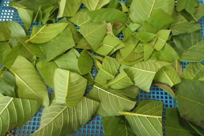 乾燥前 グァバの葉