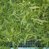 乾燥後 水菜
