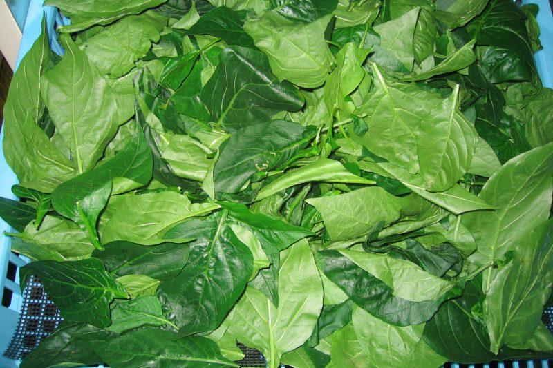 乾燥前 パプリカの葉