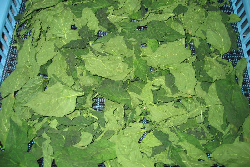 パプリカの葉