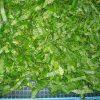 乾燥前 わさびの葉